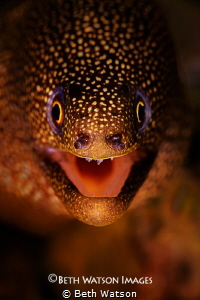 Golden Tail Moray (Gymnothorax miliaris) Bonaire, Nether... by Beth Watson