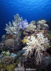 Poseidon's Garden Apo Island, Philippines by Billy Watson