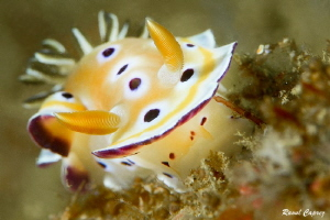 Chromodoris germina by Raoul Caprez