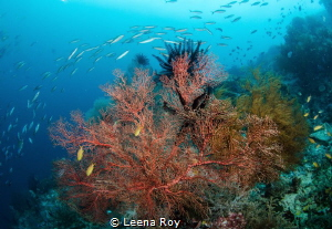 Sea fan, Raja Ampat by Leena Roy