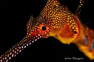 Close up Weedy Seadragon, in Bare Island, Sydney, Australia. by Ken Thongpila