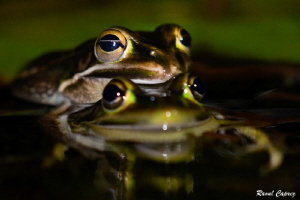Mating time by Raoul Caprez