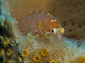 Always compulsively curious! Ringed Blenny Starksia hassi by John Roach