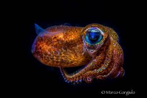 Mediterranean Bobtail Squid, Sepiola rondeleti, Night dive by Marco Gargiulo
