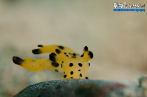 B L A C K & Y E L L O W Nudibranch also known as Pokemon... by Irwin Ang