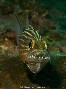 Cardinalfish - mouth full of eggs. by Uwe Schmolke