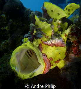yawning yellow frogfish by Andre Philip