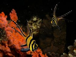 Banggai Cardinal Fish. The new kids on the block. by Todd Mintz