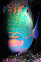 Sleeping Parrot Fish. Palau by Mitch Bowers