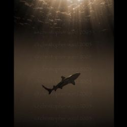 Moorea, French Polynesia. Black tip shark during deco sto... by Christopher Ward