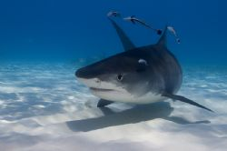 Tiger Shark from North Bahamas by Karl Dietz