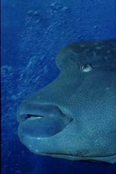 Napoleon wrasse, curious and friendly, Moorea, French pol... by Jean-claude Zaveroni
