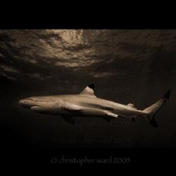 Moorea, French Polynesia. Black tip shark, deco stop. by Christopher Ward