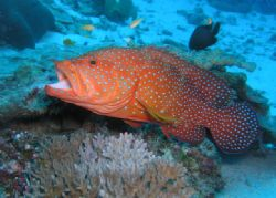 Coral Grouper - Similan Islands, Thailand. Taken with Oly... by Andrew Gottscho