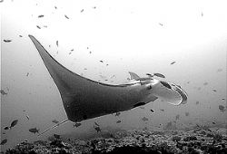 manta/mozambique. by Gregory Grant