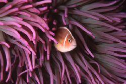 Clownfish, Manado, Indonesia. Nikon F90X, 60mm by Pablo Pianta