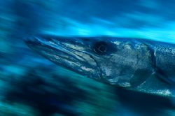 Barracuda-Slow shutter pan by Karl Dietz