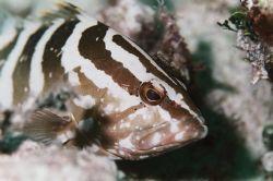 Nassau Grouper. Bahamas. by Jacques Miller