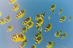 Racoon Butterflyfish. Maui. There must have been a proble... by Jacques Miller