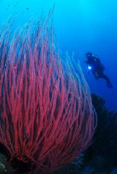 'Seawhips with diver' from Walindi (PNG). Taken with Olym... by Istvan Juhasz