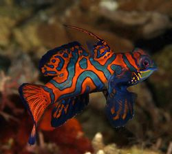 Mandarin male. Cannon 10D. Lembeh. Attacking my buddies r... by John Akar