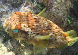 Balloon Fish. Canon A95 4 feet deep. No flash or strobe .... by Robert Verkoeyen