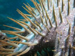 Taken in Bonaire Thorn Starfish by Brocken Rudi