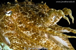 cuttelfish by Jonathan Sala