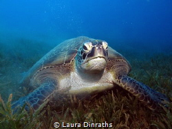 Female green turtle eating seagrass by Laura Dinraths