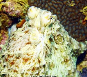 Canon 7d/Ikelite Housing  Octopus Melbourne Australia - P... by Linley Jean-Yves Bignoux