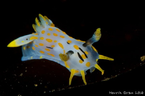Polycera from the NUDI Safari 2014 in Gulen by Henrik Gram Rasmussen