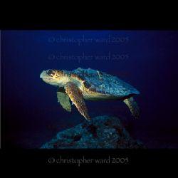 "Key Largo, FL. Molasses Reef, ""Barney."" Nikonos, 20mm, 10... by Christopher Ward"
