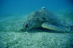 For turtle adicted : Green turtle eating on sea grass, Ma... by Jean-claude Zaveroni