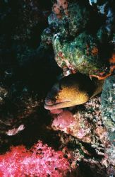 Spooky Moray. Similan Islands, Thailand. by Morgan Douglas
