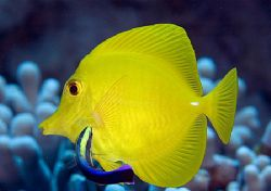 Yellow Tang being cleaned by a Hawaiian cleaner wrasse by James Kashner