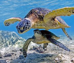 Sea Turtles At Play 12-24mm from Kona, The Big Island Of... by James Kashner