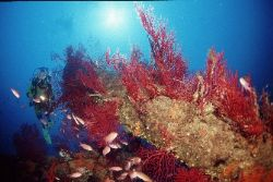 Red gorgones and anthias at 30 m; Planier Island, Marseil... by Jean-claude Zaveroni