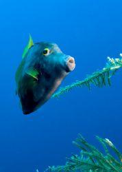 Whitespotted filefish by Maryke Kolenousky