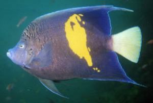 Yellowbar Angelfish, Sharm el Sheikh, Ikelite Housing, Ni... by Philip Norris