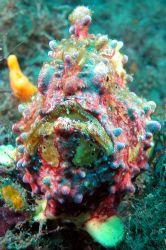 Lembeh Streit, north Sulawesi. I love this frog fish! Ni... by Ugo Gaggeri