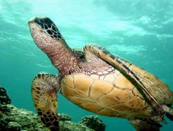 Hawaiian Green Sea turtle shot at Electric Beach West sho... by Glenn Poulain