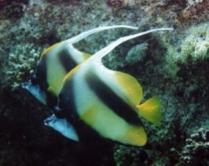 Red Sea Bannerfish, Sharm el Sheikh, Ikelite Housing, Nik... by Philip Norris
