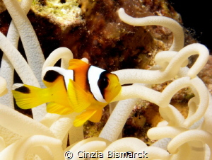 Baby juvenile clownfish in leathery anemone Juvenile am... by Cinzia Bismarck