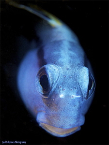 Blenny from Egypt by Iyad Suleyman