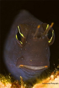 Blenny from Jordan by Iyad Suleyman
