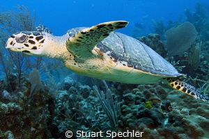 This majestic turtle followed us for some time and was no... by Stuart Spechler