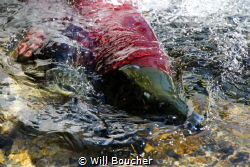 Sockeye Salmon in Prince William Sound, Alaska by Will Boucher