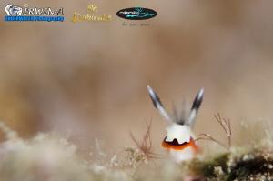 B U N N Y Nudibranch (Creamy chromodoris) Lembeh Strait... by Irwin Ang