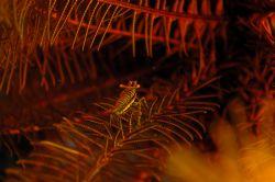 Crinoid shrimp. Manado Tua and Bunaken National Park, Nor... by Ugo Gaggeri