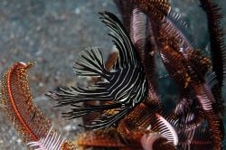 Lembeh Streit, North Sulawesi. Juvenilis bat fish. by Ugo Gaggeri